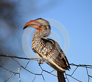 Yellowbilled Hornbill - Bird On A Wire Royalty Free Stock Photo - Image: 26517335