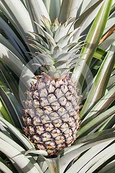 Unripe Pineapple Fruits Royalty Free Stock Photo - Image: 26527135