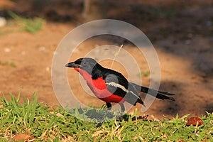 Blood Red - Shrike, Crimsonbreasted Royalty Free Stock Image - Image: 26532916
