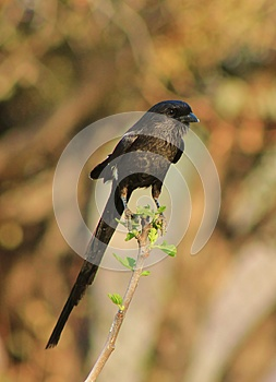 African Longtailed Shrike - Earth's Feathers Royalty Free Stock Images - Image: 26533159