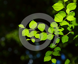 Jujube Leaves. Stock Images - Image: 26533654