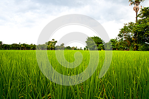 Rice Field Royalty Free Stock Photography - Image: 26543187