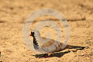 Namaquae Dove - Small And Swift Stock Photo - Image: 26549670