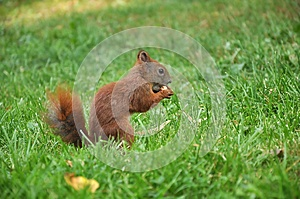 Eating Squirrel Stock Photo - Image: 26558770