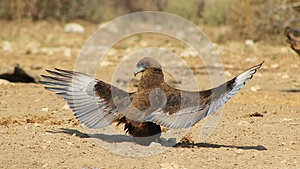 Eagle, Brown Snake - Absolutely Stunning 2 Royalty Free Stock Photos - Image: 26564198