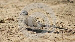 Namaquae Dove, Female - African Gamebird Royalty Free Stock Photography - Image: 26564877