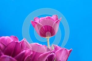 Purple Tulips Royalty Free Stock Photography - Image: 26575417