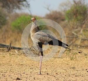 Secretary Bird - African Pride Royalty Free Stock Photography - Image: 26581297