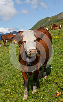 Vache Photo stock - Image: 26590170