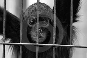 Sad Monkey Stock Photography - Image: 2662772