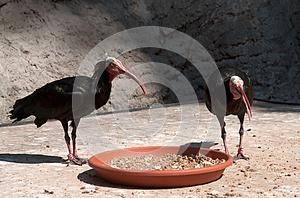 Young Vultures Royalty Free Stock Photography - Image: 26609287
