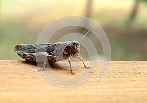 Grasshopper Closeup Stock Images - Image: 26611244