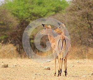 Impala - Two-headed Illusion Stock Photo - Image: 26613170