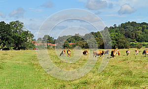 Grazing Cattle In An English Meadow Royalty Free Stock Photography - Image: 26628617