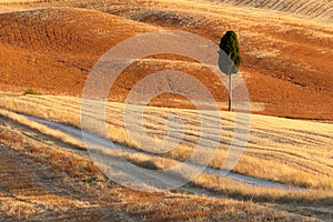 Lonely Cyprus, Tuscany, Italy Royalty Free Stock Photography - Image: 26631227