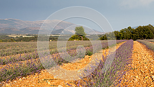 Blooming Lavender Field, Provence, France Royalty Free Stock Photo - Image: 26632295