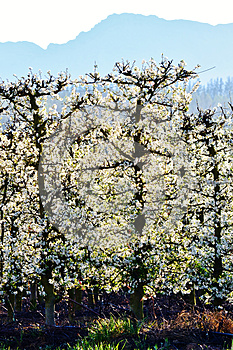 Blossoming Fruit Trees Stock Image - Image: 26633931