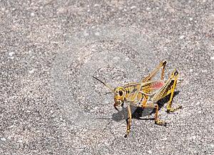 Giant Grasshopper Stock Photo - Image: 26641660