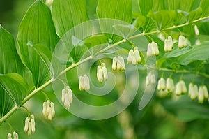 Flowering Polygonatum (Solomon's Seal) Plant Royalty Free Stock Images - Image: 26643059