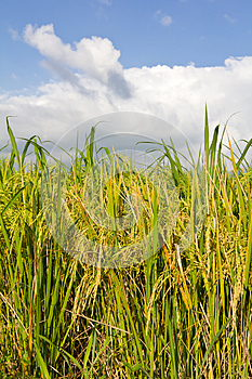Cloudy With Yellow Rice Paddy Fields. Stock Images - Image: 26643314