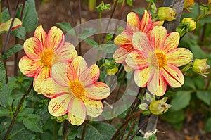 Yellow And Orange Dahlia Flowers Royalty Free Stock Image - Image: 26650966