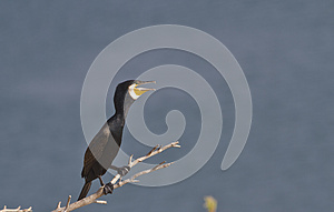 Great Cormorant Royalty Free Stock Images - Image: 26691309