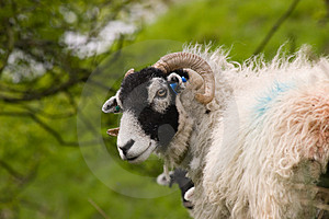 Cute Swaledale Sheep Royalty Free Stock Photos