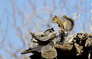 Squirrel Royalty Free Stock Image - Image: 26734086