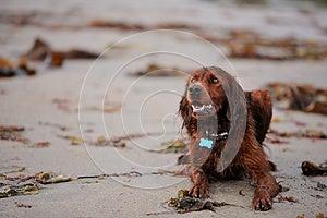 Irish Setter At The Beach Royalty Free Stock Photo - Image: 26752495