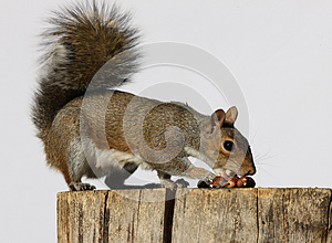 Grey Squirrel Stock Photography - Image: 26756722