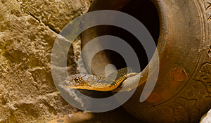 King Cobra In The Jar Royalty Free Stock Photography - Image: 26780547