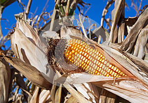 Ear Of Corn Royalty Free Stock Images - Image: 26781879