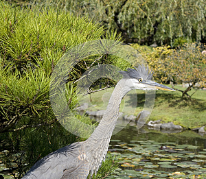 Crane In Japanese Garden Royalty Free Stock Photos - Image: 26783998