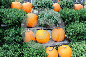 Pumpkins And Hardy Fall Mums Royalty Free Stock Photography - Image: 26787447