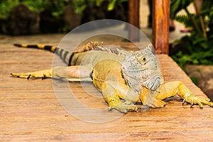 Portrait Of An Iguana Stock Photo - Image: 26789760