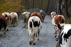 Cattle Breeding Royalty Free Stock Photography - Image: 2687087