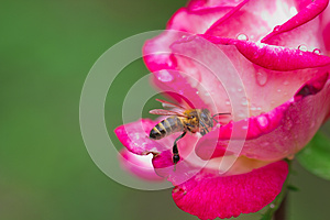 Bee On Rose Stock Photos - Image: 26809043