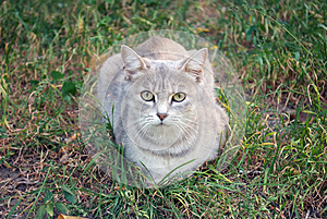 Gray Cat On The Autumn Grass Royalty Free Stock Images - Image: 26809359
