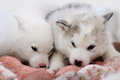 Two puppies of Siberian Huskies Royalty Free Stock Photos