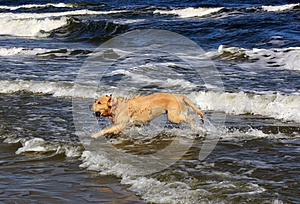 Labrador In The Sea Royalty Free Stock Image - Image: 26826746