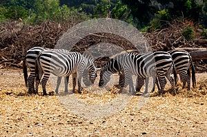 Grazing Zebras Royalty Free Stock Photos - Image: 26830328