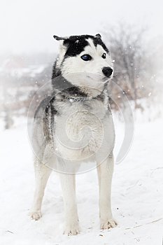 Siberian Huskies Royalty Free Stock Photos - Image: 26831398
