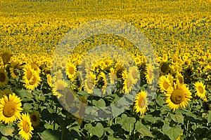 Sea Of Sunflowers Stock Photography - Image: 26837782