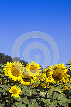 Sunflowers And Sky (room For Text) Royalty Free Stock Photo - Image: 26837785