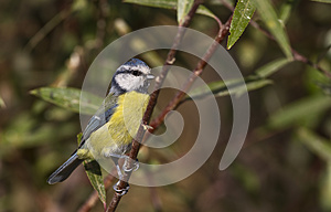 Blue Tit On The Tree Stock Images - Image: 26845564
