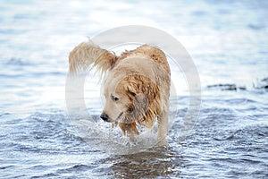 Labrador Retriever Royalty Free Stock Image - Image: 26849736