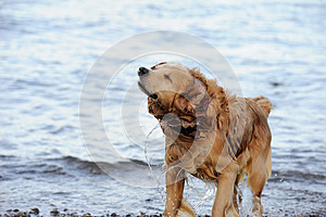 Labrador Retriever Royalty Free Stock Images - Image: 26849839