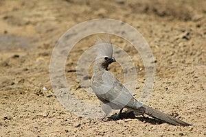 Lourie, Grey - Bird Of Calls Stock Photography - Image: 26854302