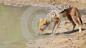 Jackal, Nero-bakced - Predatore Dell'Africa Fotografia Stock Libera da Diritti - Immagine: 26854385