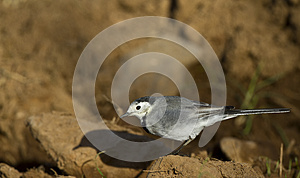 Pied Wagtail Royalty Free Stock Photos - Image: 26867478